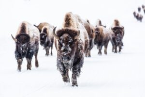 bison resilience